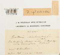 Daltonia splachnoides image