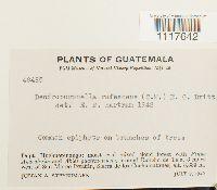 Dendropogonella rufescens image