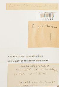 Desmatodon plinthobius image