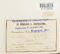 Tortula obtusifolia image
