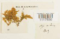 Ctenidium malacodes image