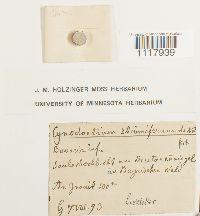 Cynodontium strumiferum image