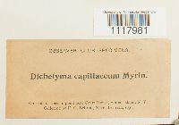 Dichelyma capillaceum image