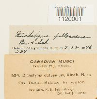 Dichelyma pallescens image