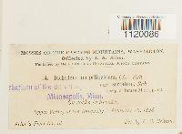Dichodontium pellucidum image