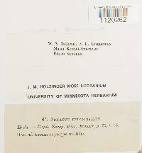 Dicranella heteromalla image