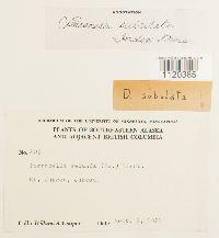 Dicranella subulata image