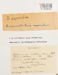 Dicranodontium asperulum image