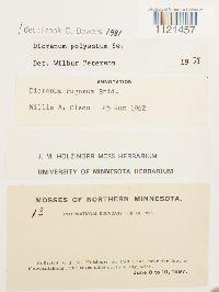 Dicranum polysetum image