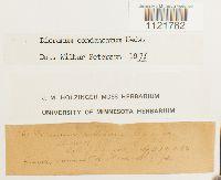 Dicranum condensatum image