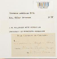 Dicranum undulatum image