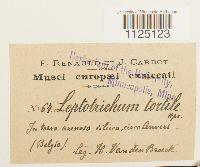 Ditrichum pusillum image