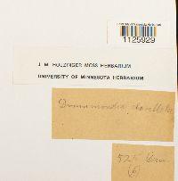 Drummondia prorepens image