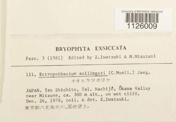 Ectropothecium zollingeri image