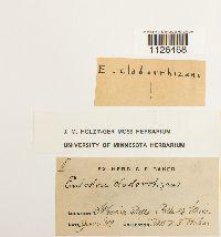 Entodon cladorrhizans image