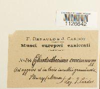 Entodon concinnus image