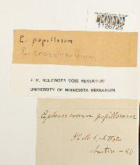 Ephemerum crassinervium image
