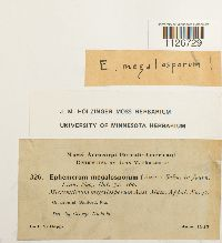 Micromitrium megalosporum image