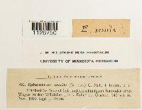 Image of Ephemerum sessile