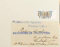 Ephemerum serratum image