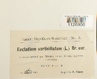 Eucladium verticillatum image