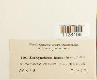 Eurhynchium hians image