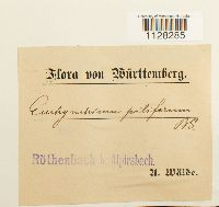 Eurhynchium piliferum image