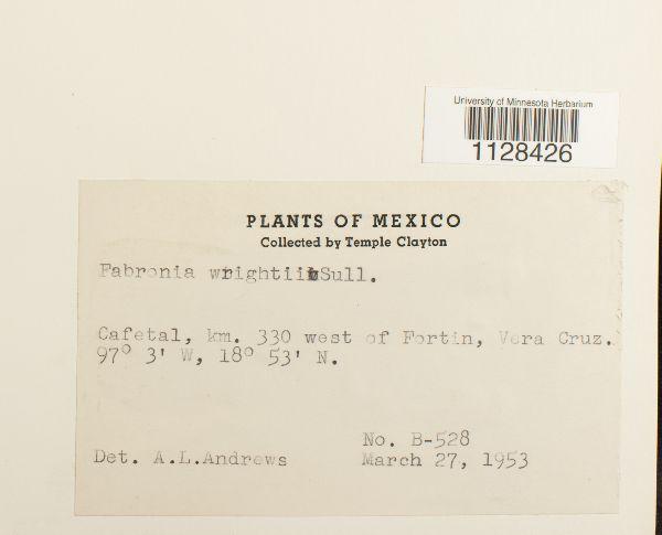 Fabronia ciliaris var. wrightii image