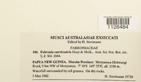 Fabronia curvirostris image
