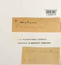 Fissidens adianthoides image