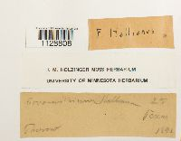 Fissidens hallianus image