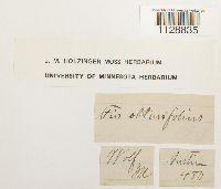 Fissidens obtusifolius image