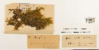Eurhynchium striatum image