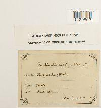 Fontinalis antipyretica image