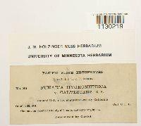Funaria hygrometrica var. calvescens image