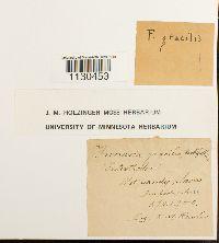 Image of Funaria gracilis