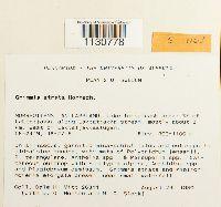 Grimmia atrata image