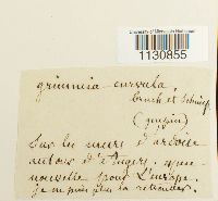Grimmia arenaria image