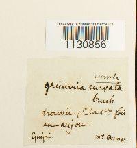 Image of Grimmia arenaria