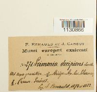 Grimmia decipiens image