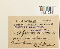 Grimmia plagiopodia image