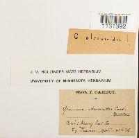 Grimmia pilifera image