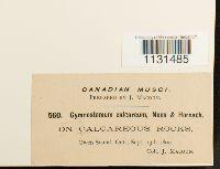 Gymnostomum calcareum image