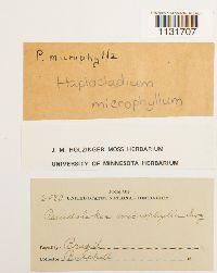 Haplocladium microphyllum image
