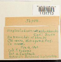 Haplocladium angustifolium image