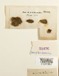 Grimmia crinita image
