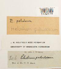 Helodium paludosum image