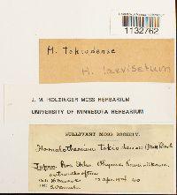 Image of Homalothecium laevisetum