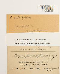 Hookeria acutifolia image