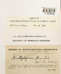 Hygroamblystegium fluviatile image